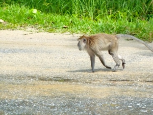 Macaque on a mission