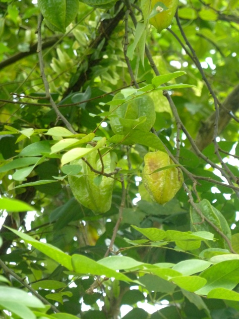 We walked through a neighborhood and found starfruit growing on trees . . .