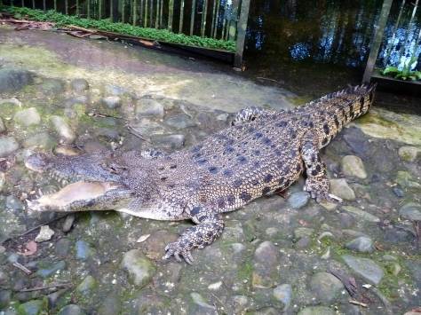 Semenggoh also had a few crocodiles, but no one paid much attention to them