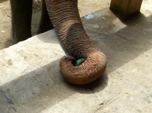 Elephants eat fruit completely whole, rind and peel and all