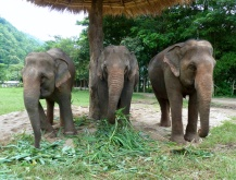 Most of an elephant's day is spent eating; each eats about 300 kilos of food!