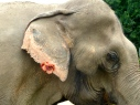 This elephant has a flower in her earring to cover up a bullet hole