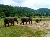 Elephants walk in lines just like in all the movies!